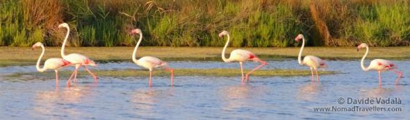 Pink Flamingos lined up in Camargue