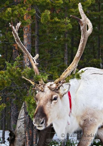 A reindeer in Finland