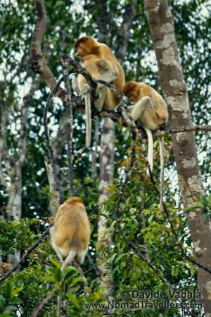 Proboscis Monkeys, an endemic species of Borneo