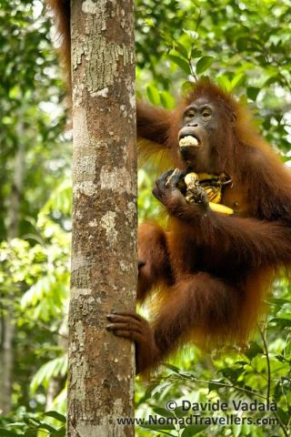 A female Orangutan eating bananas at a feeding station in Tanjung Puting National Park