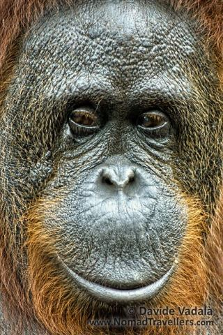 Portrait of a female Bornean Orangutan in Tanjung Puting National Park