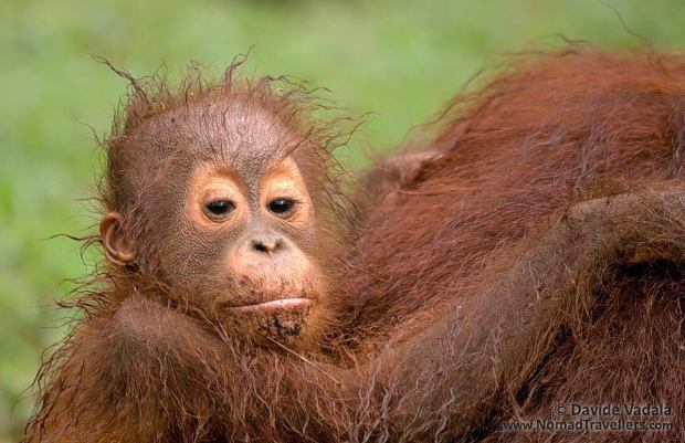 The baby orangutan we saw in Tanjung Puting National Park (Kalimantan) while enjoying a ride on the back of his mum