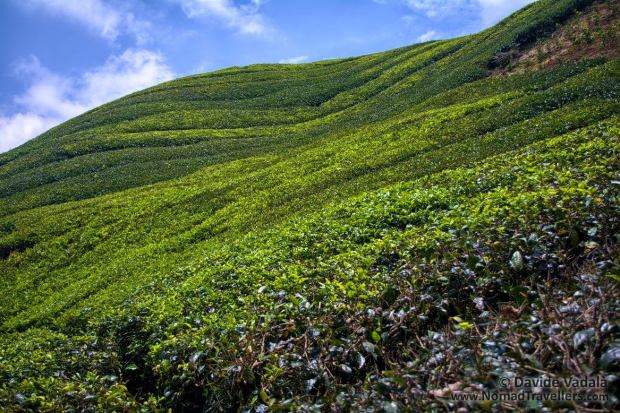 Vibrant tea hills rest in perfect silence