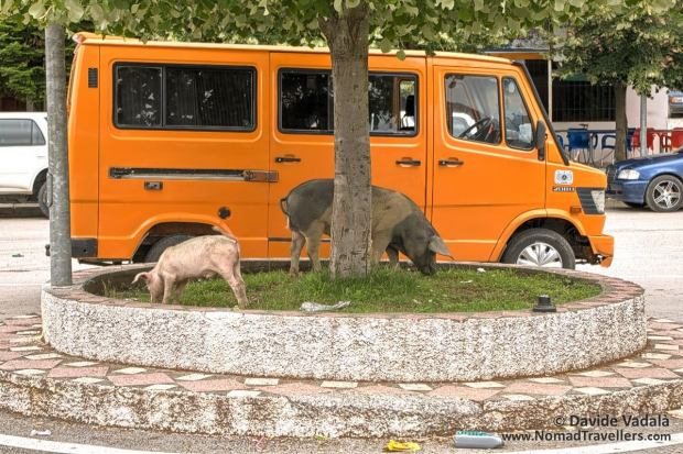 Pigs roaming free in the main square of the town