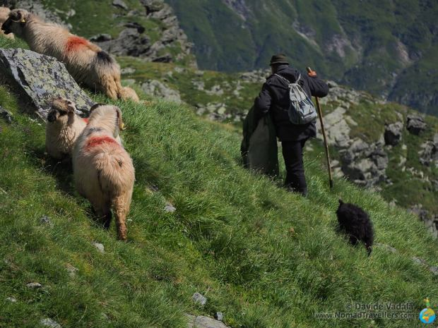 A Romanian shepard looking after his sheep