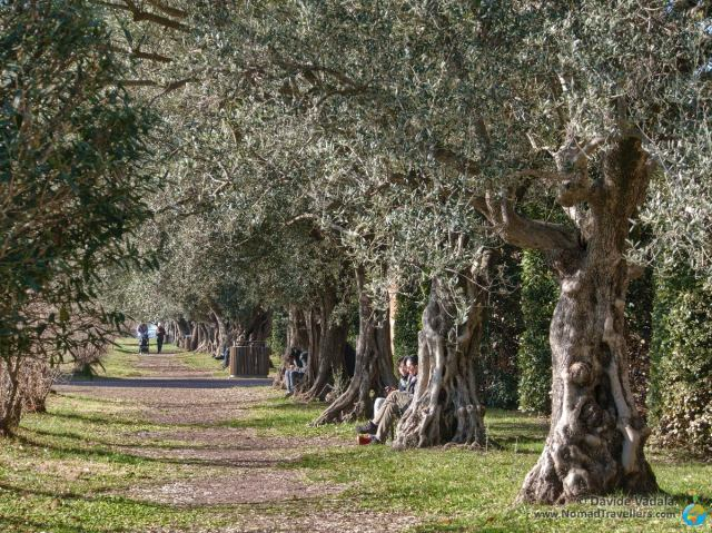 Alley shaded by olive trees in Hadrian's Villa
