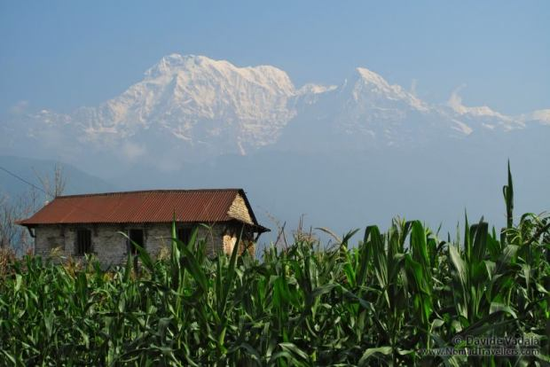 Corn fields in Dithal, with the Himalaya visible on the background